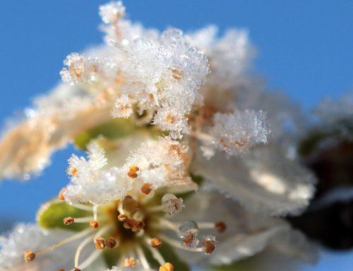 Ako ochrániť kvety ovocných stromov pred mrazom, aby ste neprišli o úrodu